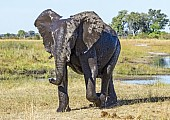 Elephant with Water-mottled Hide