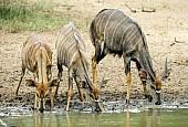 Nyala antelope trio