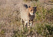 Sub-adult Cheetah, Front-on Vierw