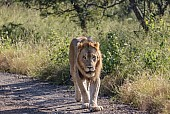 Male Lion Walking, Front-on