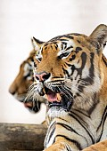 Reference photo of Bengal Tigers