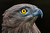 Brown Snake Eagle, Head Detail