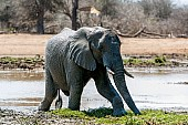 Elephant Stepping on to Dry Land