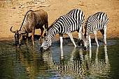 Zebra Pair Drinking
