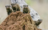 Dwarf Mongoose Group