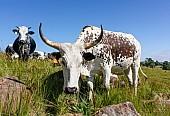 Inquisitive Nguni Cattle