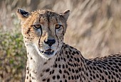Portrait of Female Cheetah