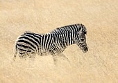 Zebra Foal in Golden Winter Grass