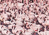 Lesser Flamingo Flock
