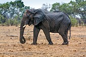 Elephant with Broken Tusks