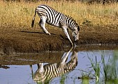 Zebra Bending to Drink