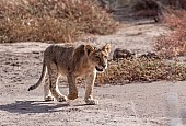 Lion Cub Stepping Out