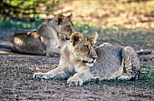 Lion Youngsters in Shade