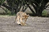 Lion Cub Walking, three-quarter view