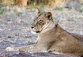 Lioness Lying, Side-On