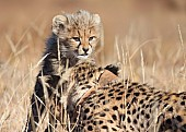 Baby Cheetah Peering over Mother's Head