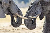 Elephant Pair, close-up