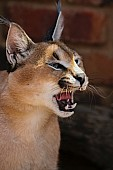 Caracal with Mouth Open