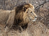 Male Lion Wildlife Reference Photo