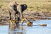 Elephant and Baboons Fording Stream