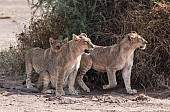 Young Lions in Shade of Bush