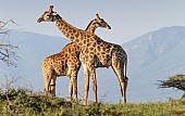 Giraffe Pair with Necks Crossed