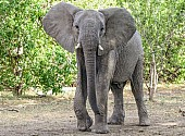 African Elephant with Ears Spread, Three-Quarter View