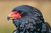 Bateleur Eagle, close-up in profile