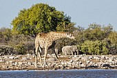 Giraffe at Waterhole