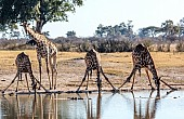 Giraffe Group Drinking Art reference image