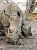 White Rhino Mother with Youngster