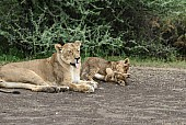 Lioness and Playful Cubs