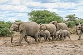 Elephant Group Crossing Open Ground