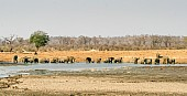 Wide View of Large Elephant Herd Drinking