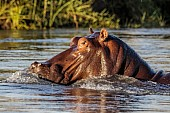 Hippo Close-Up