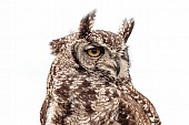 Spotted eagle-owl, Close-up View