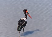 Saddle-billed Stork for Art Reference