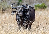 Buffalo Female, Front-on View