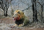 Male Lion After Feeding on Kill
