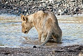 Young Lion Staring at Water's Surface