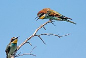 European Bee-eater with Ruffled Feathers