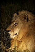 Lion at Night, Side View