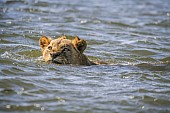 Lion Swimming