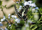 Citrus Swallowtail Butterfly Reference Photo
