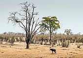 Scenic View of Sable Antelope