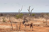 Kudu Bull Browsing from Small Tree