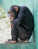Chimpanzee Sitting on Wall