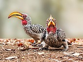 Southern Yellow-billed Hornbill Duo