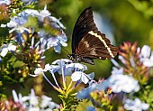 Blue-banded Swallowtail Butterfly Reference Image