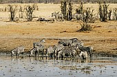 Zebra Herd Drinking at Waterhole